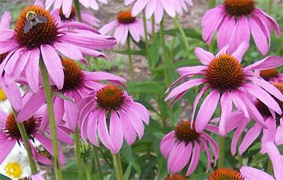 PurpleConeflowers