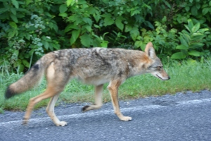 Coyote in Shendandoah National Park
